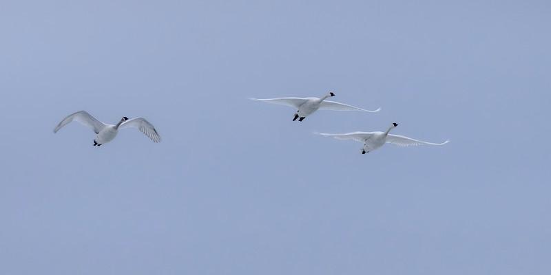 Trumpeter Swans (Pano) – Vadnais Lake, Vadnais Heights, MN