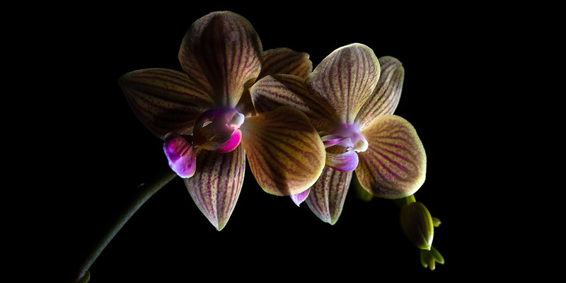 Phalaenopsis Orchid Duo (Pano) – Maplewood, MN