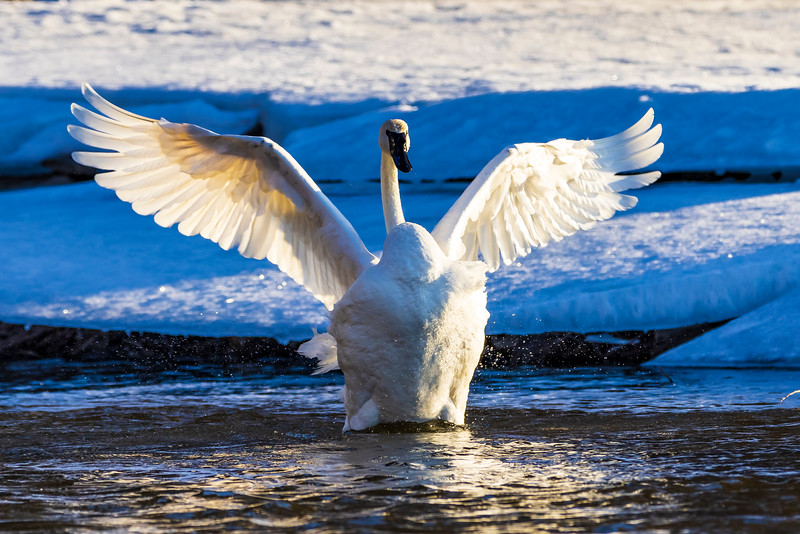 Trumpeter Swans #2 – Vadnais Lake, Vadnais Heights, MN