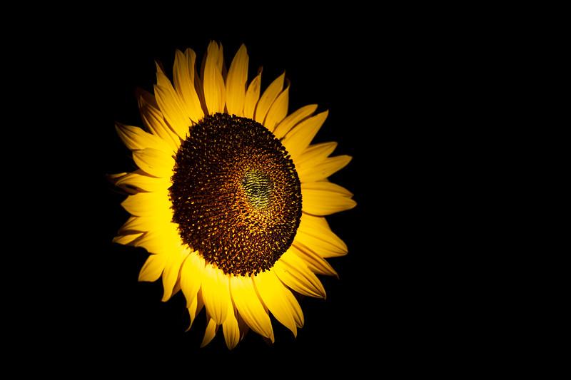 Sunflower – Maplewood, MN