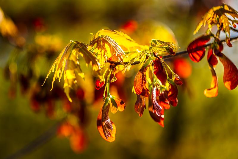 Maple Seed Pods  - Minneapolis, MN