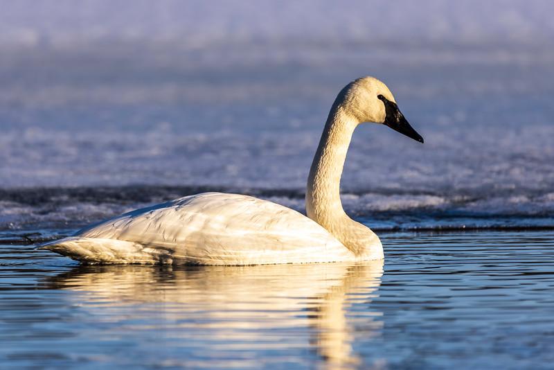 Trumpeter Swans #4 – Vadnais Lake, Vadnais Heights, MN