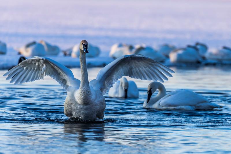 Trumpeter Swans #1 – Vadnais Lake, Vadnais Heights, MN