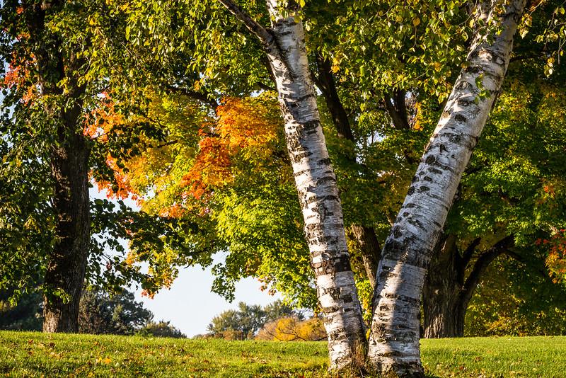 Birches - Lake Phalen Area, St. Paul, MN
