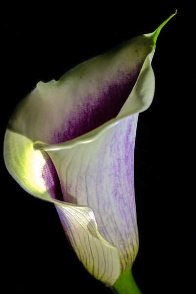 Calla Lilly #2 – Maplewood, MN