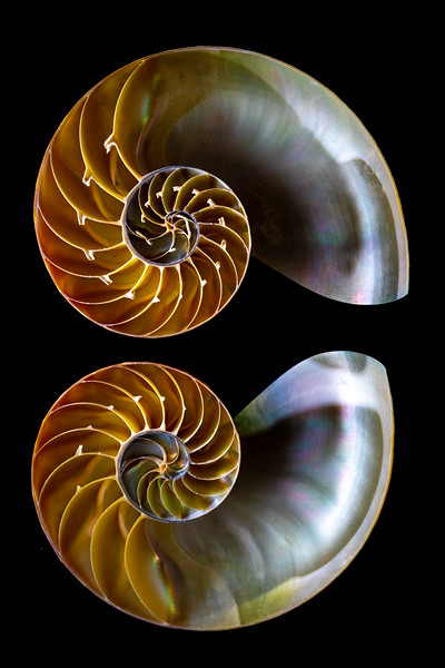 Brown and White Nautilus #2