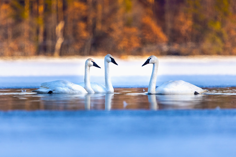 Trumpeter Swans #5 – Vadnais Lake, Vadnais Heights, MN