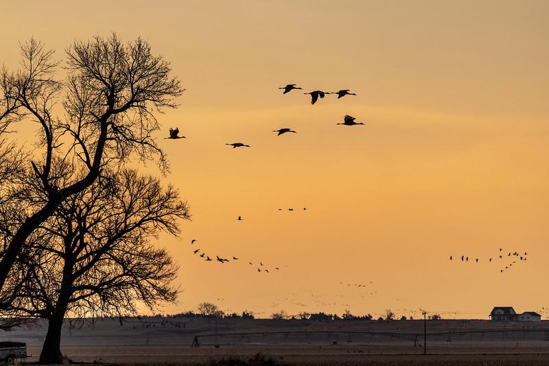 Sandhill Cranes #2 – Kearney, NB
