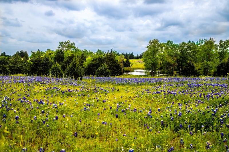 Bluebonnets - Ennis, TX