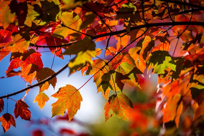 Maple Leaves - Roseville, MN