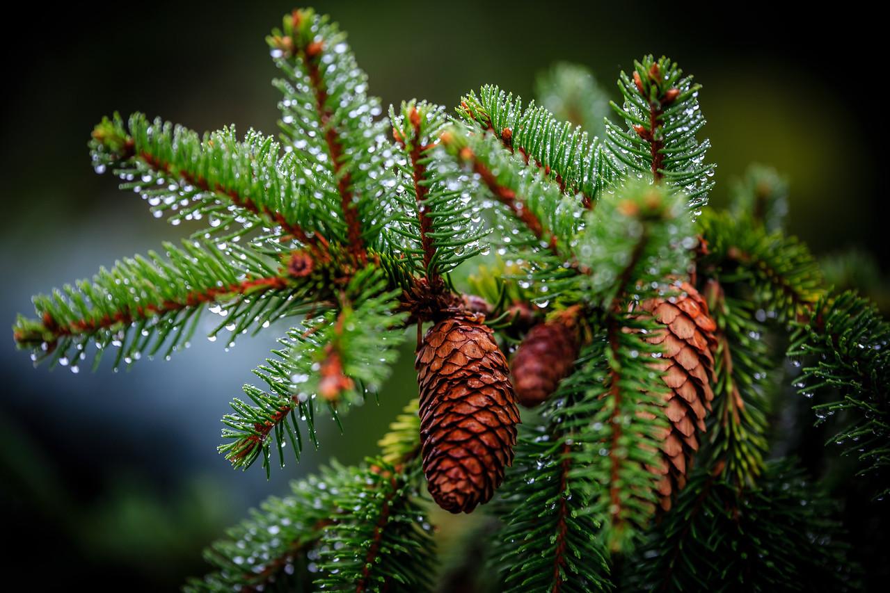 Pine Cone - MN Landscape Arboretum