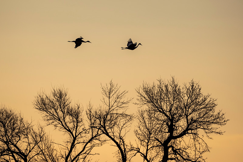 Sandhill Cranes #3 – Kearney, NB