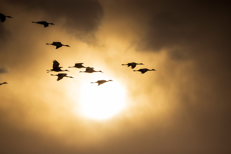 Sandhill Cranes #4 – Kearney, NB