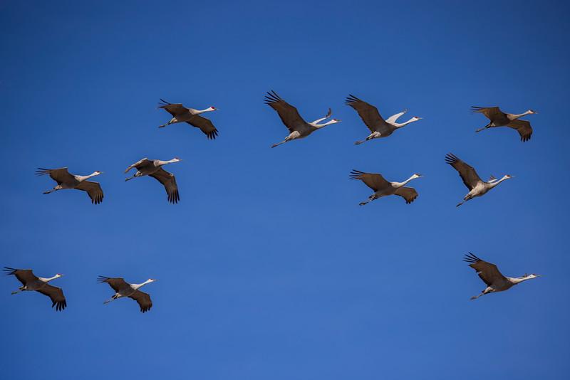 Sandhill Cranes #1 – Kearney, NB