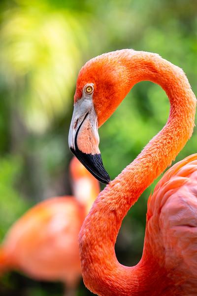 Caribbean Flamingo #1 - Ardastra Gardens, Zoo & Convention Center, New  Providence, Bahamas