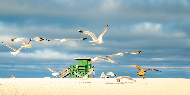 Hollywood Beach Gulls #2 (Pano) - FL