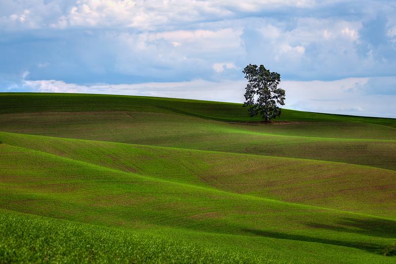 Palouse Single Tree - Eastern Washington