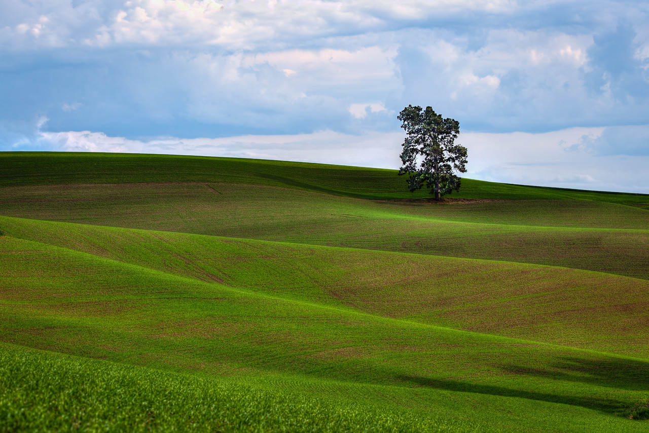 Palouse Single Tree - Eastern Washington