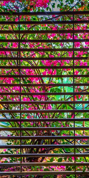 Bougainvillea - Naples Botanical Garden