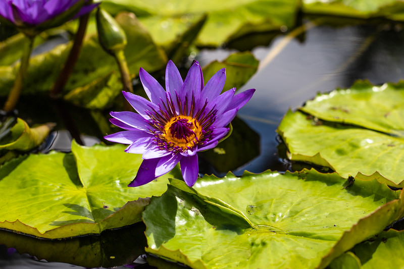 Purple Tropical Water Lily - Naples Botanical Garden