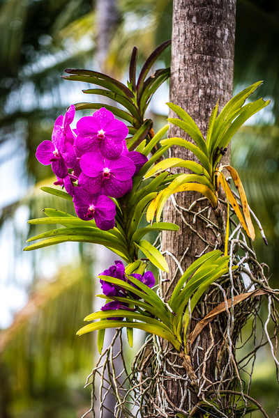 Vanda Orchid - Naples Botanical Garden
