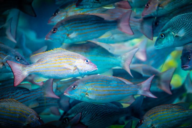 Fish School #1 - Paradise Island, Bahamas