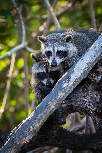 Raccoons #1 - Everglades