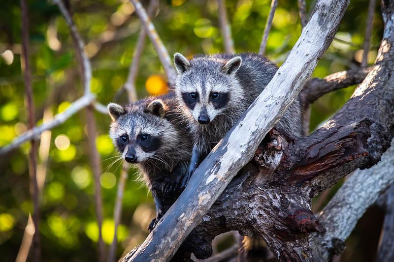 Raccoons #2 - Everglades