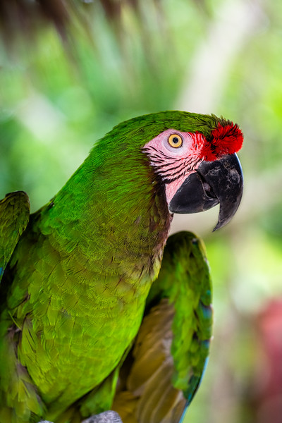 Great Green Macaw - Ardastra Gardens, Zoo & Convention Center, New  Providence, Bahamas