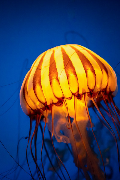 South American Sea Nettle #1- Omaha's Henry Doorly Zoo and Aquarium