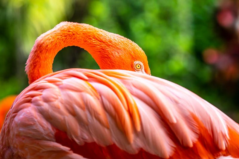 Caribbean Flamingo #2 - Ardastra Gardens, Zoo & Convention Center, New  Providence, Bahamas