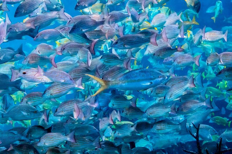 Fish School #2 - Paradise Island, Bahamas