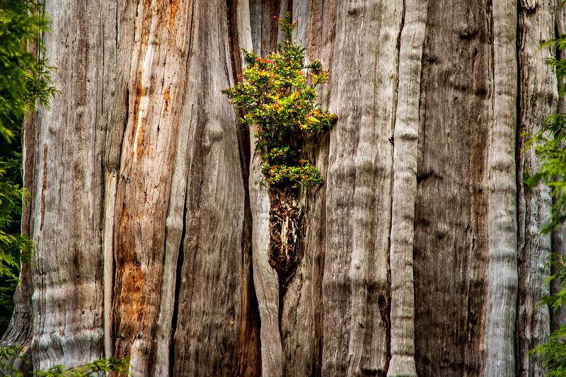 Duncan Cedar – Olympic National Park, WA