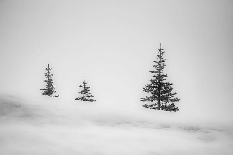 Winter Spruce #2  (B/W) - Mount Rainier National Park, WA