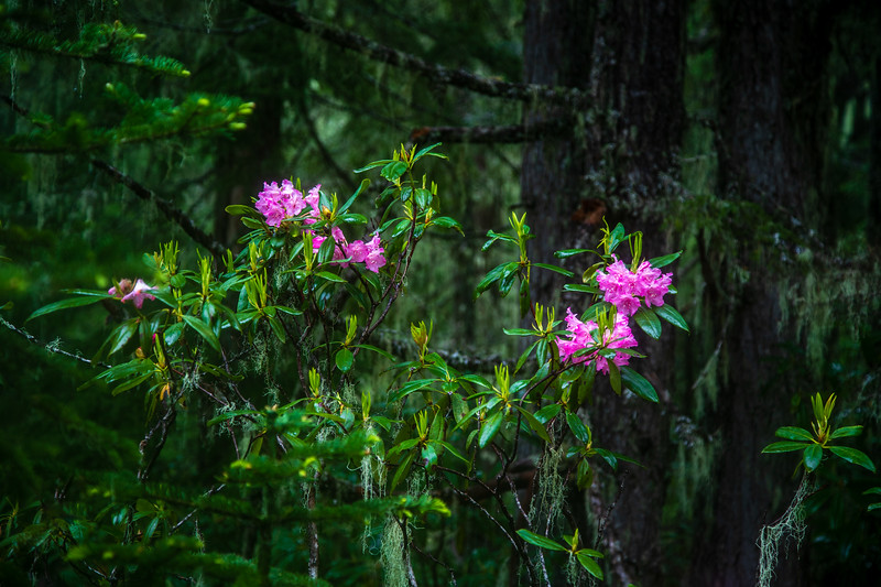 Magnolias – Mt. Hood National Forest, OR