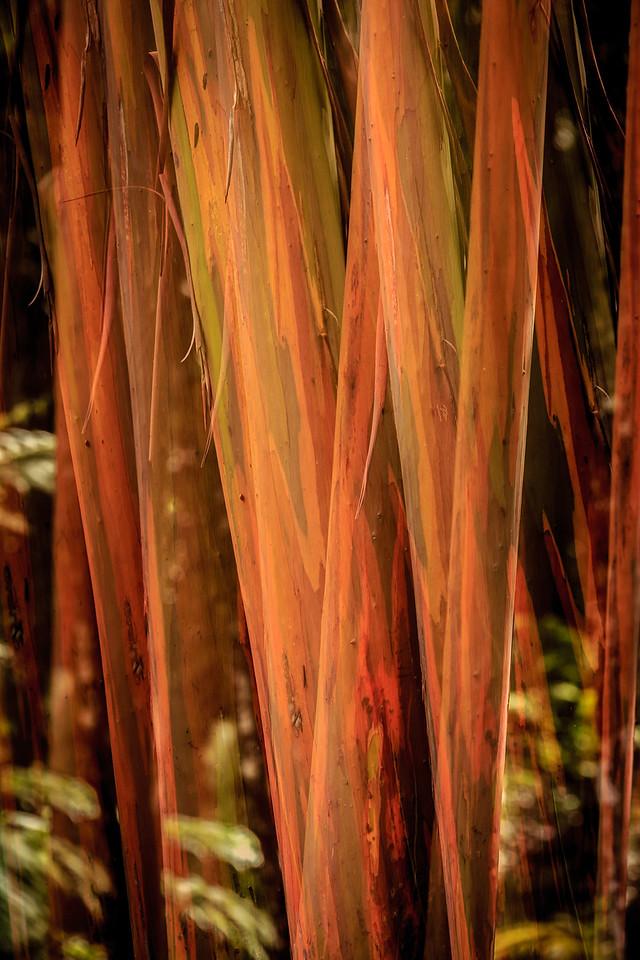 Rainbow Eucalyptus - El Yunque National Forest, Puerto Rico