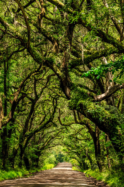 Tree Canopy #3 - Near Botany Bay Plantation Heritage Preserve and Managment Area, Edisto Island, SC