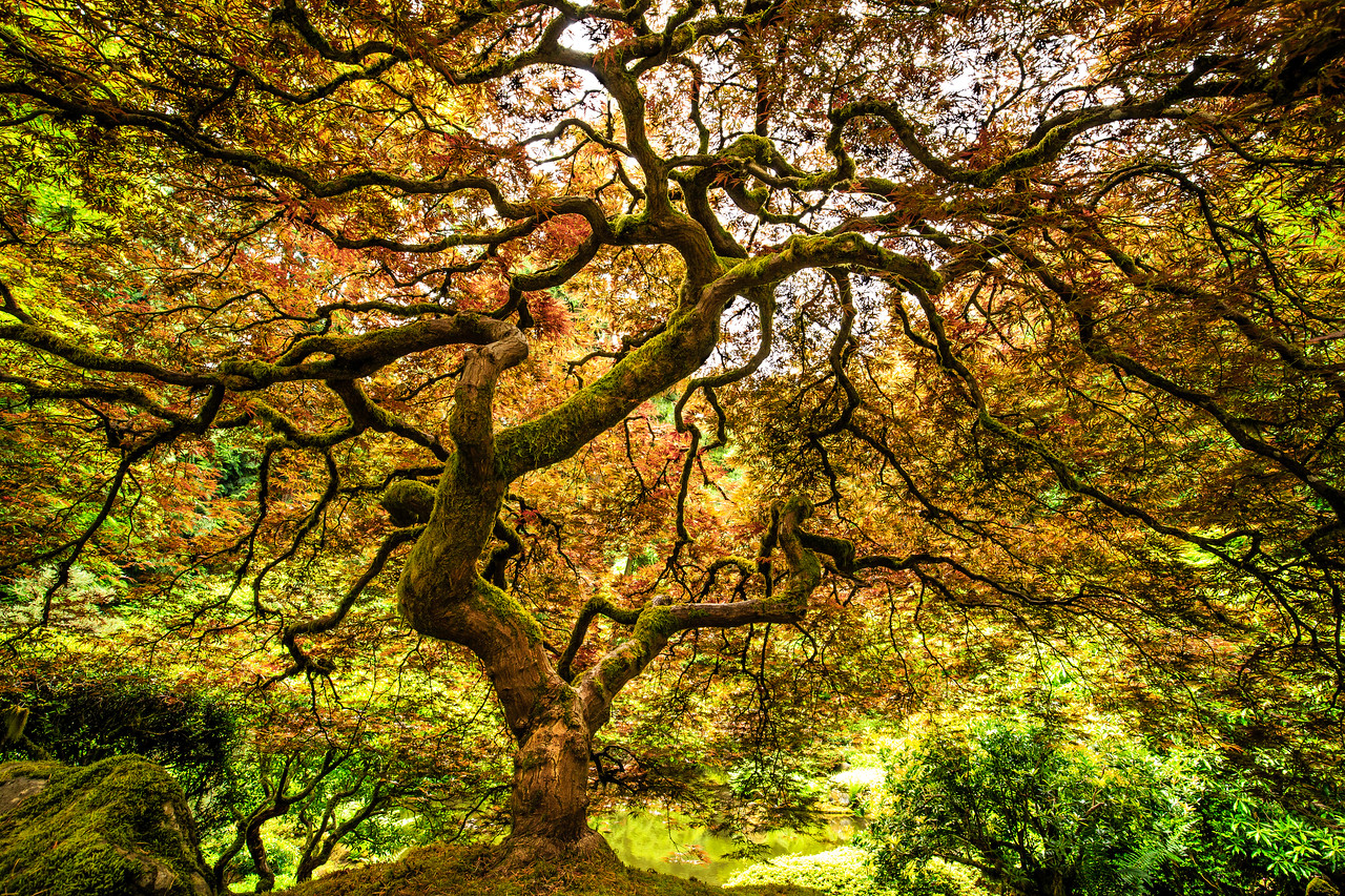 Japanese Maple - Portland Japanese Garden, OR