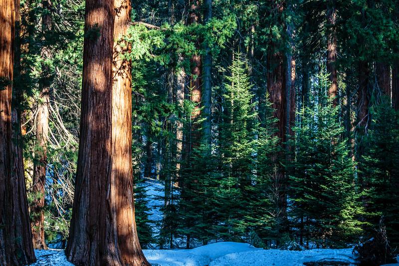 Sequoia #4 - Sequoia, National Park, CA