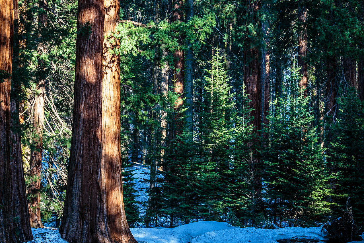 Sequoia #4 - Sequoia, National Park, CA