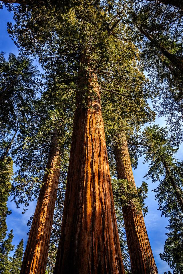 Sequoia #3 - Sequoia, National Park, CA