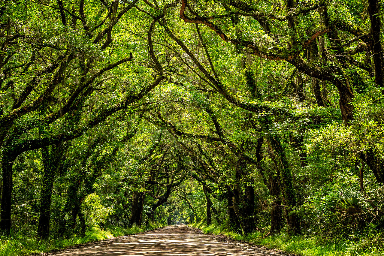 Tree Canopy #1 - Near Botany Bay Plantation Heritage Preserve and Managment Area, Edisto Island, SC