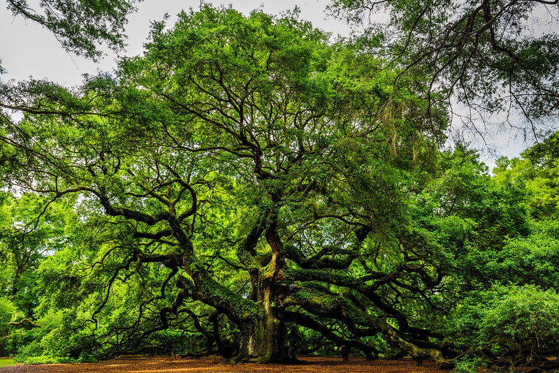 Angel Oak #2 - Johns Island, SC