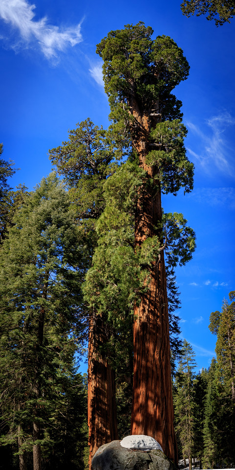 Sequoia (Pano #2) - Sequoia, National Park, CA