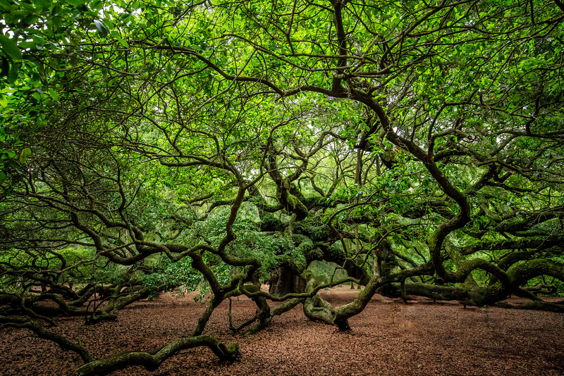 Angel Oak #3 - Johns Island, SC