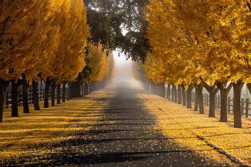Fall tree tunnel in Napa, CA