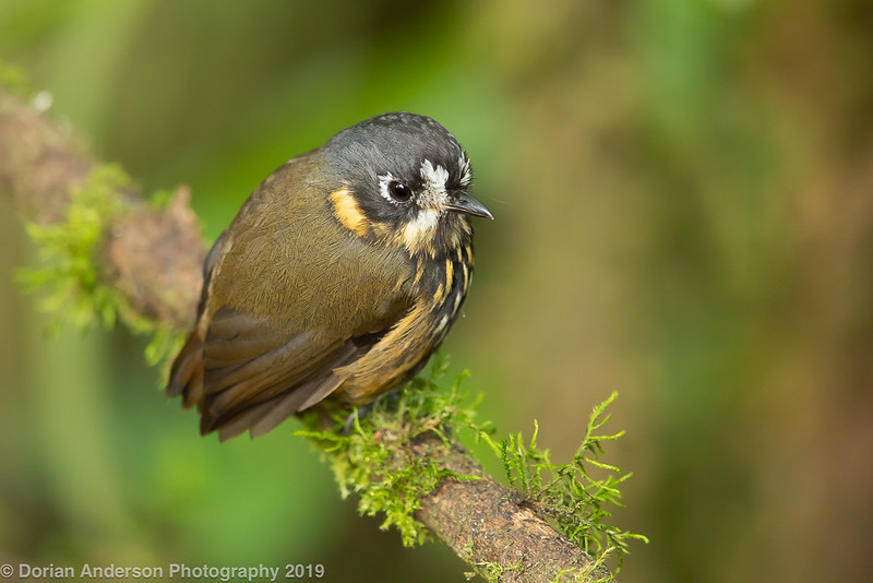 Crescent-faced Antpitta