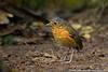 Slaty-crowned Antpitta