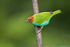 Bay-Headed Tanager