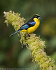Blie-winged Mountain-Tanager